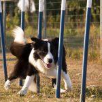 Hond slalomt
