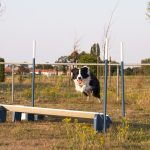 Hond springt